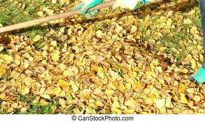 Autumn leaves - Woman rakes yellow autumn leaves