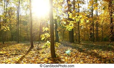 Autumn leaves wood sun - Handlend shot of treetops in...
