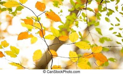 Autumn Leaves - Yellow autumn leaves hanging on tree...