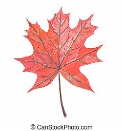 autumn liść, klon