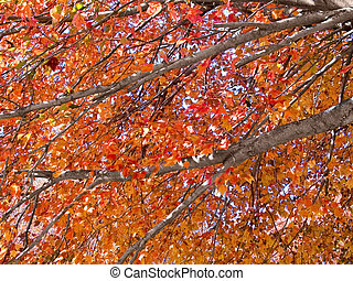 Autumn Limbs - A close-up of some colorful Autumn tree ...