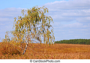 Autumn lonely birch