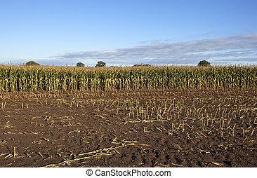 autumn maize field