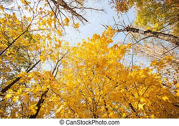 Autumn maple against the blue sky