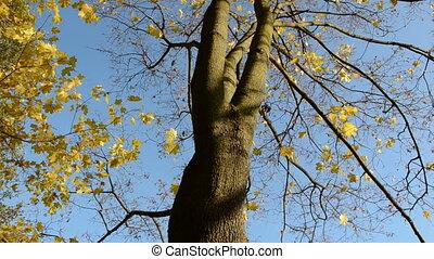 autumn maple and sky