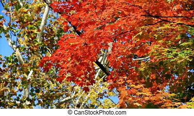 Autumn Maple and Sycamore HD Loop