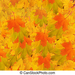 Autumn maple branch with leaves. Abstract background