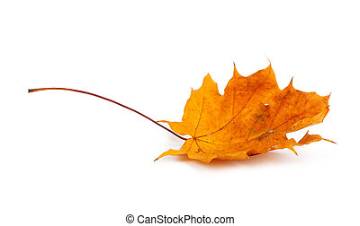 Autumn maple branch with leaves isolated on a white ...