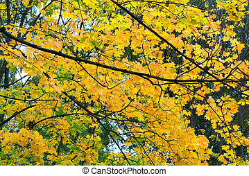 autumn maple branches against the sky with yellow leaves
