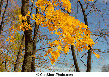autumn maple branches
