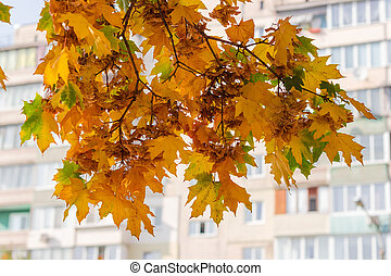 Autumn maple branches on blurred background of multi story building