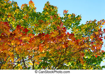 Autumn maple branches with bright colorful yellow, orange, red, green autumn leaves on a blue sky background