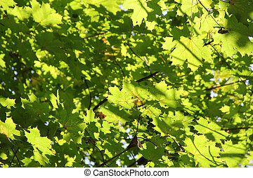 Autumn maple branches with green leaves. Background