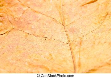 Autumn maple leaf 2