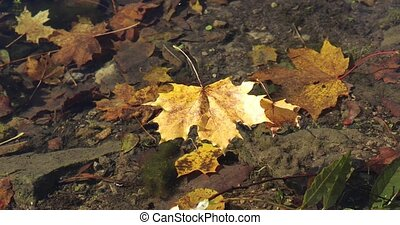 autumn maple leaf dropped into the water in the forest.