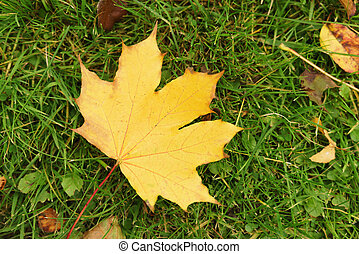 autumn maple leaf in the grass