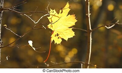 Autumn maple leaf in the sun