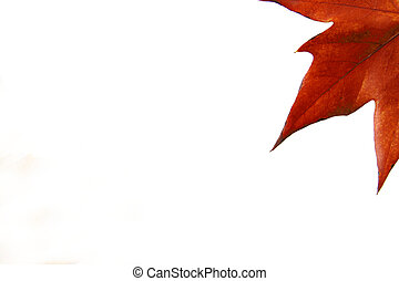 Autumn maple leaf isolated on a white
