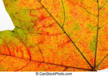 Autumn Maple Leaf Macro