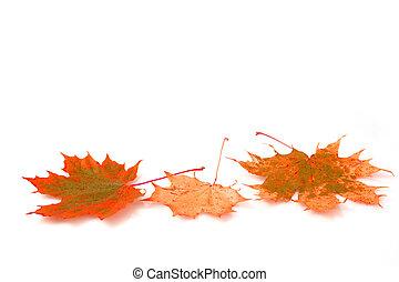 autumn maple leaf on white background