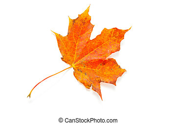 autumn maple leaf over white, isolated