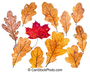 autumn maple leaf surrounded by oak leaves