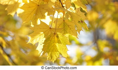 Autumn maple leafs - Close-up on colorful maple leafs