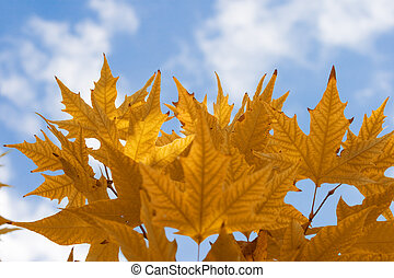 Autumn maple leaves - Brown autumn maple leaves against the...