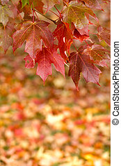 Autumn Maple Leaves Hanging from tree - Beautiful vibrant...