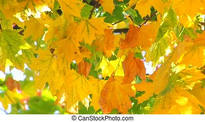 autumn maple leaves in morning