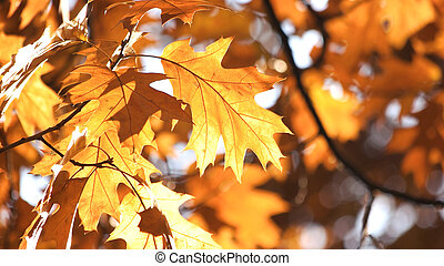 Autumn maple leaves in the sunlight.