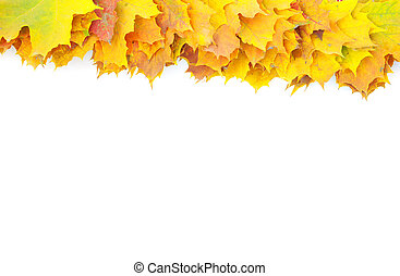 autumn maple leaves isolated on a white