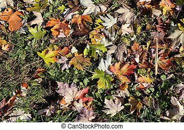 Autumn maple leaves lie on the forest