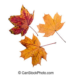 Autumn Maple Leaves - Maple tree leaves with autumn colors,...