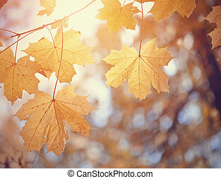 Autumn maple leaves of yellow color