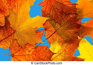 Autumn maple leaves on a blue background