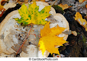 autumn maple leaves on an old stump in the woods