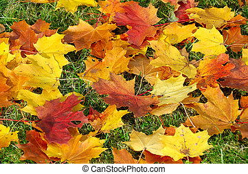 autumn maple leaves  on green grass