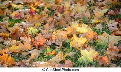 autumn maple leaves on  ground