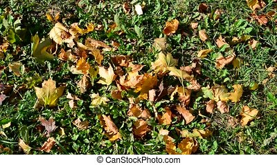 autumn maple leaves on  ground