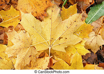 autumn maple leaves on the grass