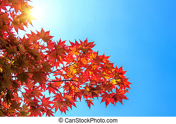 Autumn maple leaves.