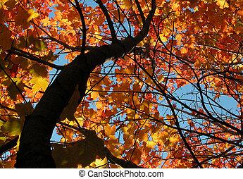 autumn maple - orange maple tree in autumn