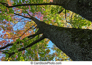 autumn maple tree from below