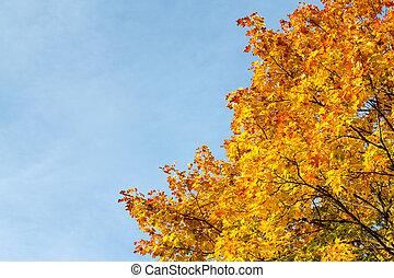 Autumn maple tree leaves against blue sky