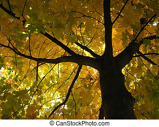 maple tree - Autumn maple tree with dark branches