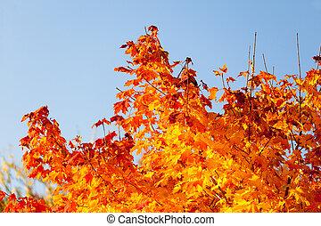 Autumn maple trees background