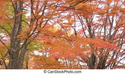 Autumn maple trees - Orange autumn maple trees in...