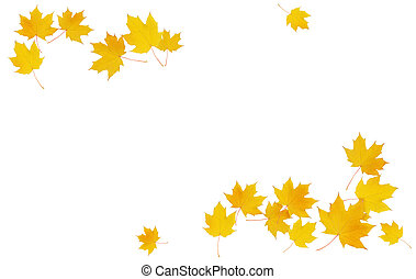 Autumn maple twig with yellow leaves isolated on white background. Flat lay. Top view.