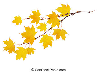 Autumn maple twig with yellow leaves isolated on white